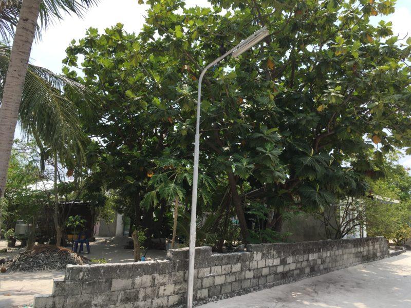 パンの実の木